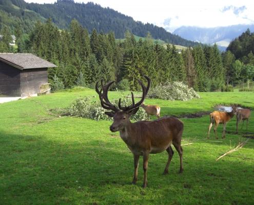 Hirsch im Wildpark Wildbichl